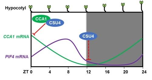 "SUSTech Professor Xing Wang Deng's Research on photomorphogenesis published in ""PNAS"" Journal"