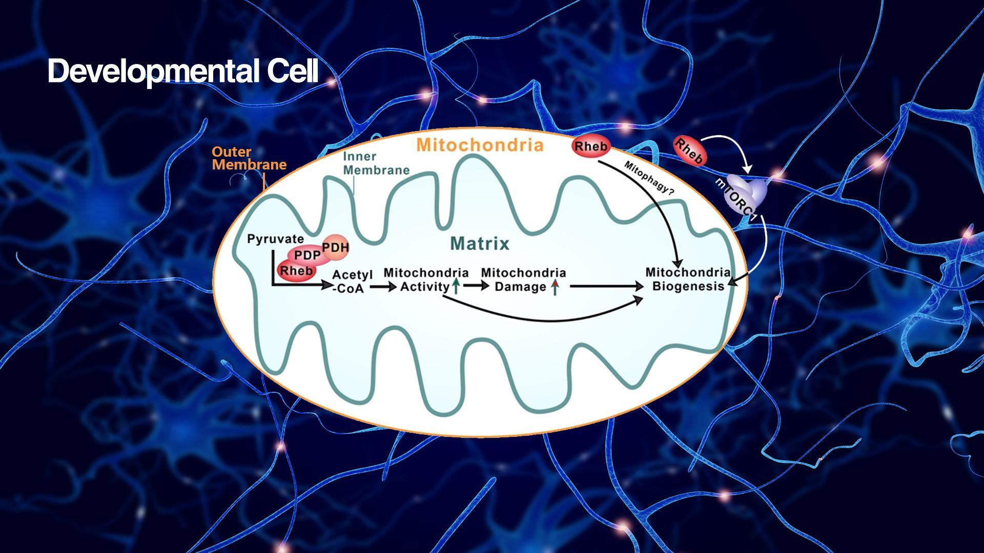 SUSTech Bo Xiao's research team discovers novel regulation of mitochondrial metabolism with implications to neuroenergetics